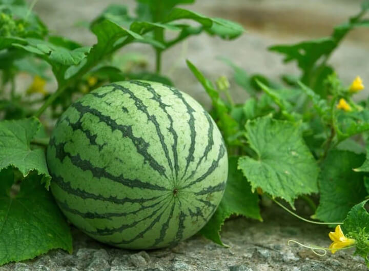 Dưa hấu là trái cây rất được yêu thích