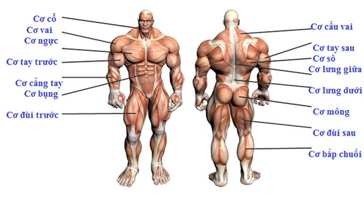 Các nhóm cơ trên cơ thể phục vụ cho việc tập gym.