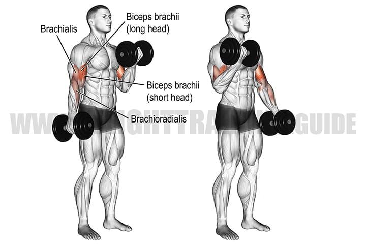 Bài tập Dumbbell Biceps Curl