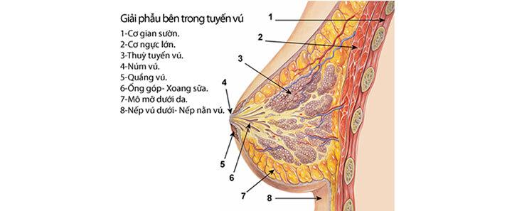 Cấu tạo phần ngực của nữ